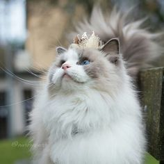 Meet Aurora, the most beautiful and fluffiest princess cat ever.