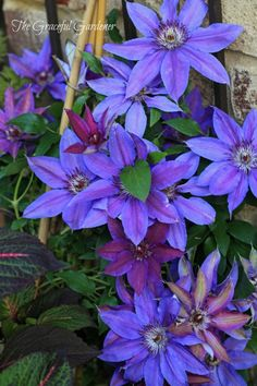 Gorgeous Clematis 'Starry Nights'