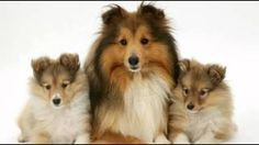 Would you jump at the chance to extend the life of your beloved dog? To discover how, go to http://lovedogs.from.media/go  Top 10 Most Amazing Facts About Sheltie - Shetland Sheepdog