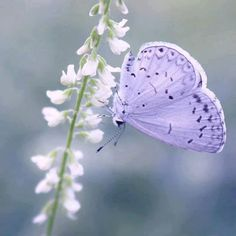 Lavender Butterfly #butterfly #pretty #nature