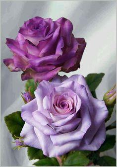 Lavendar Enchantment Roses. Varieties include Allure, Bluebird, Blue Curosia, and Stranger.