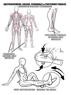 [Diagram] Rolling the Calf Muscles Mobility leads to improved Alignment and Ankle/Foot Stability The Posterior Tibialis and the Peroneals are very important calf muscles that synergize with the Gastrocnemius and Soleus muscles to create powerful and stable movements through the foot and Ankle. It's important to treat the Posterior Tibialis and the Peroneals as part of a soft tissue therapy practice for a couple of good reasons. 1) The Posterior Tibialis is a muscle that helps to create the…