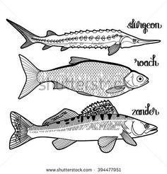 Graphic fish collection drawn in line art style. Carp, trout and perch for seafood menu. Sea and ocean creatures isolated on white background. Coloring book page design