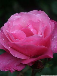 Rose Wallpaper For Mobile