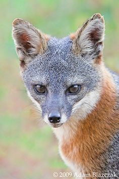 Island Fox (Urocyon littoralis) is a critically endangered species, found only on California's Channel Islands and nowhere else on Earth.  There are six subspecies of the fox, one for each of the Islands it inhabits.