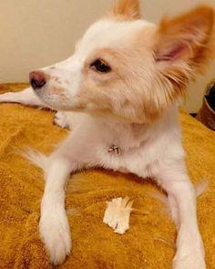 (3) そか骨のガムね。       【完】 #dog #inu #犬 #犬の麩