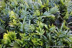 pustulatum (Hounds Tongue) - Fern with distinctive thick glossy bright green leaves. Plant Nursery, Bright Green, Native Plants, Green Leaves, Garden, Ferns, Garten, Lawn And Garden, Outdoor