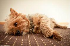 #yorkie #puppy #animals #cute