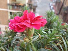 """Scriveva Shakespeare che """"i fiori più gentili della stagione sono i nostri garofani"""" @oltreilbalcone #garofanini #pinkinside #fiori #garden #flower #oltreilbalcone"""