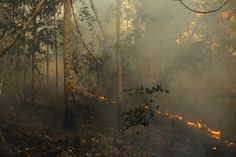 Rainforest species didn't co-evolve with fire – and even a low intensity wildfire can kill half the trees. Fire Prevention, Tropical Forest, Amazon Rainforest, Small Trees, Law Study, Effort, Environment, Amazon River, Dream Career