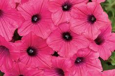 "Petunia 'Supertunia Vista Fuchsia Improved' (Proven Winners, Kirigin Cellars Winery, Gilroy, CA) Trails to 48"""