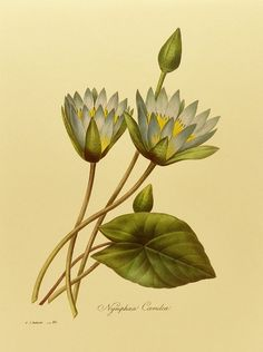 Botanical Print Redoute Water Lily No. 86 by ParagonVintagePrints, $5.00