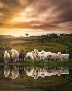 Sheep and sleep