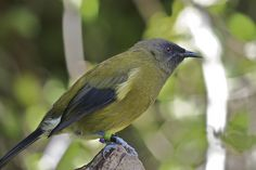 The little Bellbird.also called the Korimako New Zealand Travel, Wild Birds, Beautiful Birds, Habitats, Flora, Wildlife, Backyard, God, Animals
