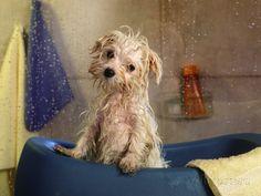 Little Wet Maltese in Bath Tub Fotoprint van Henryk T. Kaiser bij AllPosters.nl
