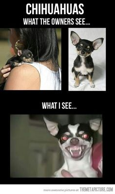 Chihuahuas ....what the owner sees VS ...what I see.
