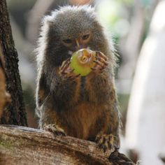 Things that make you go AWW! Like puppies, bunnies, babies, and so on. A place for really cute pictures and videos! Marmoset Monkey, Pygmy Marmoset, Primates, Mammals, New World Monkey, Small Monkey, Types Of Monkeys, Small Insects, Fish And Meat