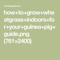 how+to+grow+wheatgrass+indoors+for+your+guinea+pig+guide.png (761×2400)
