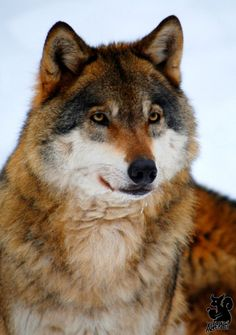 Great Big Beautiful Wolf - Rich Colors