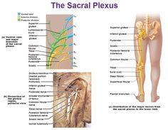 the sacral plexus anterior and posterior divisions