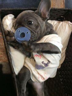Blue French Bulldog Puppy❤❤ White French Bulldog Puppies, French Bulldog Facts, Blue French Bulldogs, Cute Puppies, Cute Dogs, Dogs And Puppies, Frenchie Puppies, Doggies, Positive Dog Training
