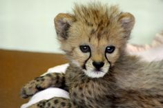 I woke up like this Cute Wild Animals, Animals And Pets, Beautiful Cats, Animals Beautiful, Cheetah Pictures, Baby Cheetahs, Cheetah Cubs, Exotic Cats, Animals Amazing