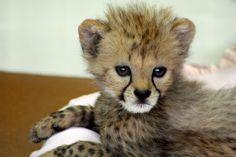 Baby Cheetah Cub