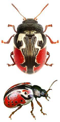 1c9ff36823c0f2c34b0b1f839c2ef82f--beetles-insect-spiders.jpg 236×479 像素