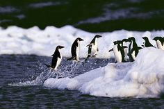 Adelie penguins leap out of the water in Antarctica on Nov. 9. Melting sea ice is causing a decline in the Adelie penguin population by adversely affecting their food supply. Glaciers in Antarctica have retreated almost 90 percent since 1980.    Newscom