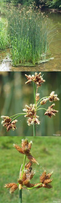 Mattenbies - Schoenoplectus lacustris - weven van matten, manden, hoeden, ...