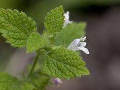 ZOLA TRICKS: Lemon Balm Or Grass Hive (Melissa officinalis)