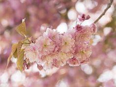 Uta Naumann: Japanische Kirschblüte in Love - Glasbild 60 x 80 cm  #artgalerie-bildershop.de