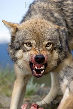 Close-Up Of Gray Wolf Snarling Photographer: Klein-Hubert/KimballStock Snarling Wolf, Wolf Howling, Of Wolf And Man, Canis Lupus, Wolf Husky, African Wild Dog, Wolf Spirit Animal, Timber Wolf, Most Beautiful Animals