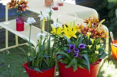 HONSELERSDIJK - Ook in de zomer worden bloembollen-op-pot verkocht? Ze brengen een terras in een instant zonnige sfeer. Als Tuinplant van de Maand juli selecteerden Mooiwatplantendoen drie zomerbloeiende bolgewassen-op-pot: Zantedeschia, Lelie en Ornithogalum. Gevarieerd, kleurrijk en imposant.     Calla (Zantedeschia), Lelie, Ornithogalum