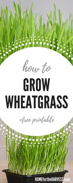 Organic Gardening Ideas How to Grow Wheatgrass at Home - tutorial and free printable cheat sheet Fruit Garden, Edible Garden, Flower Gardening, Growing Wheat Grass, Organic Gardening Tips, Sustainable Gardening, Indoor Gardening, Vegetable Gardening, Gardens