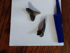 Fossilised shark's teeth (with pen lid for scale), collected from a Florida beach. Via @Ange_K1