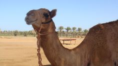#desertsafaridubai #RFKholidays provides the best camel desert safari deal in Dubai. Visit http://rfkholidays.com/ for more information now!