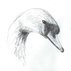 Swan Pencil sketch by artist Claire Jones More
