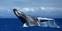Jumping humpback whale by...