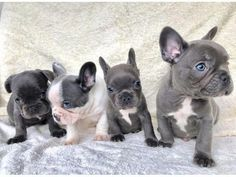 Blue French Bulldog Frenchbulldogfullgrown Blue French Bulldog