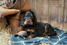 Gordon Setter Puppy Laying On Blanket By Boot And Hay