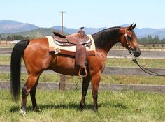 Coyote Quixote PGA - half Arabian - Show Horse Gallery, A Different Horse is Featured Every Day