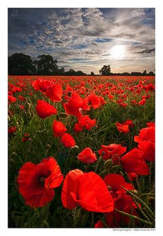 Glowing Poppies by Adam Edwards