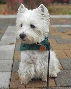 An dog, named Poochie, was delivered to a pound by a family who claimed to have developed allergies, according to Proverbs Animal Rescue. Cute Dogs Breeds, Dog Breeds, West Highland White, West Highland Terrier, White Terrier, Old Dogs, Jack Russell Terrier, Shelter Dogs, Westies