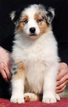 Hightide Australian Shepherds • Zooey  Ths is what Pete wants for a family pet!