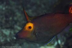 yellow-eyed leatherjacket - by Tony Strazzari #Filefish