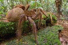 A scientist got a puppy-sized spider in the Amazonian rainforest. The South American spider has a leg span of 30 cm and weigh up to 170 g and it sounds like a horse too.