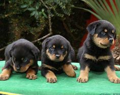 brothers #rottweilers                                                                                                                                                      Mais