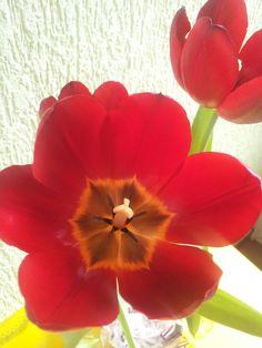 Tulipa 13