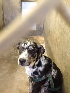 This poor guy still has his harness on that he was surrendered with. He's a beautiful Heeler, maybe Catahoula, mix only 1-2 yrs old. THIS SHELTER HAS NEVER BEEN SO FULL BEFORE! THEY WILL START EUTH'ING FOR SPACE VERY SOON. If you are interested GO DOWN NOW AND ADOPT! Odessa TX Animal Control. https://www.facebook.com/speakingupforthosewhocant/photos/pcb.759144907443083/759144677443106/?type=1&theater
